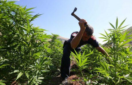 פגלין: למי שיש רישיון לקנאביס צריך לאפשר לו לגדל את הצמח לבד