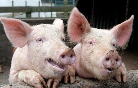 על גל הטהרנות החזירית ששוטף את החברה הישראלית